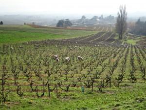moutons dans les vignes